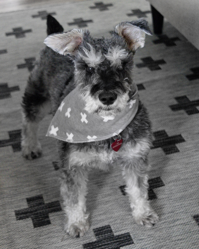 Salt and Pepper Mini Schnauzer with grey bandana